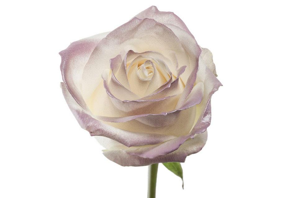 P° 1310 White Blush Lilac Glamour