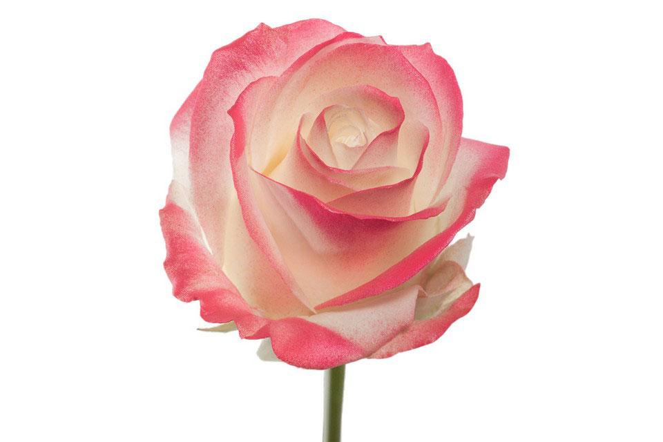 P° 1325 White Blush Pink Glamour