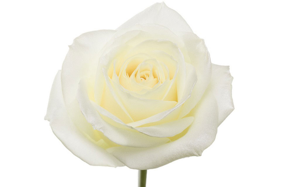 P° 1340 White Blush White Glamour