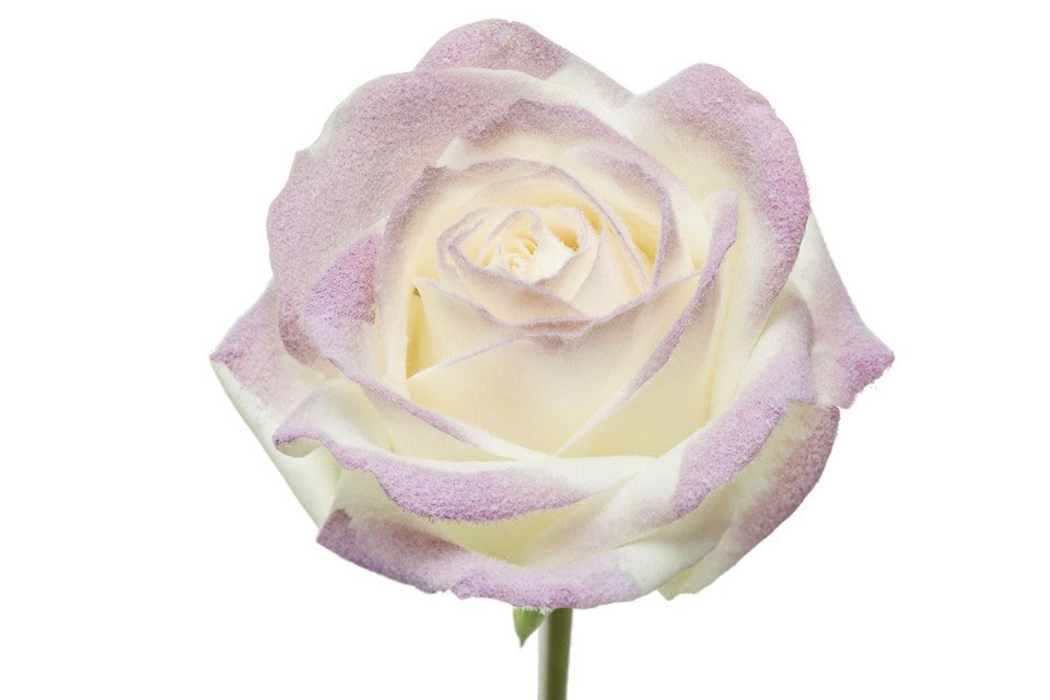P° 1470 White Blush Lilac Velvet