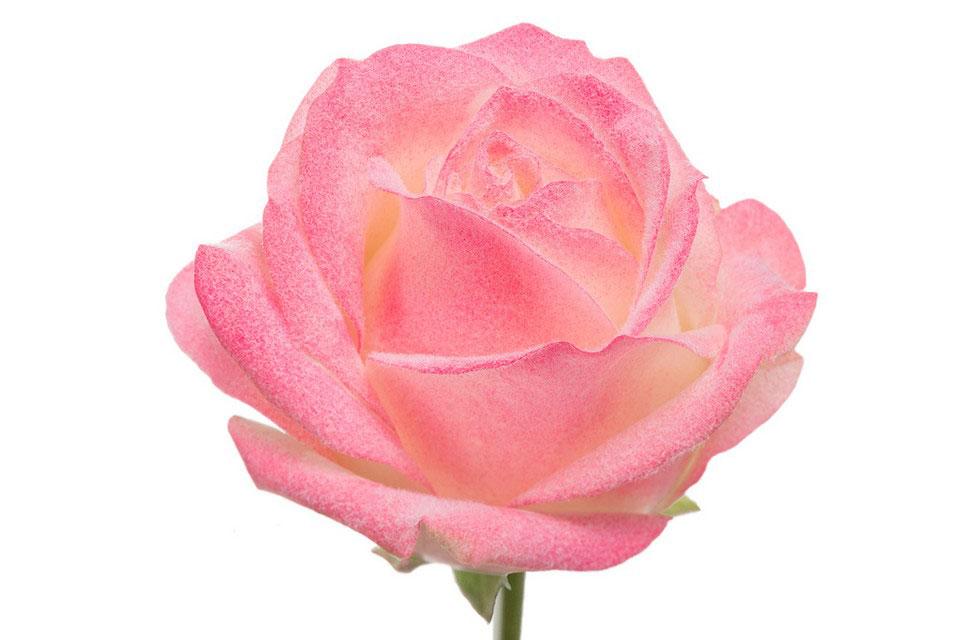 P° 1485 White Blush Pink Velvet