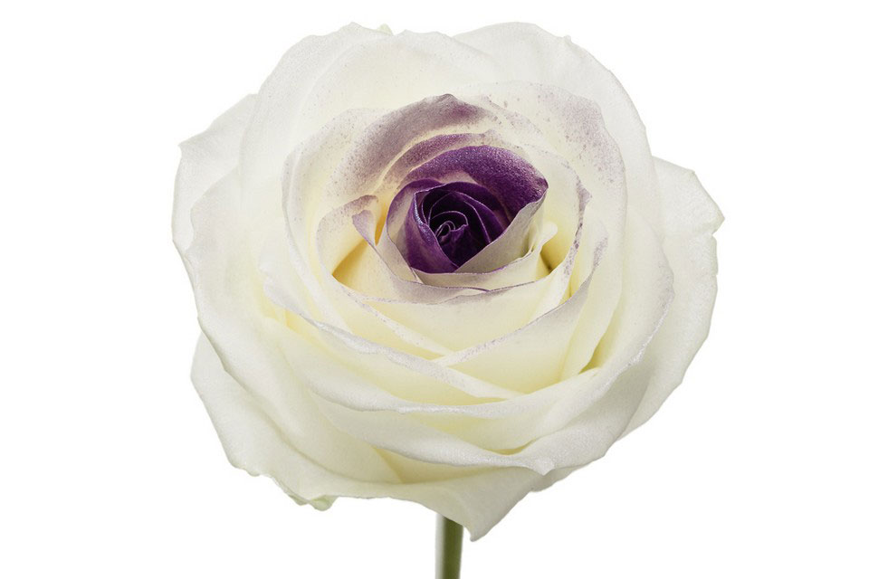 P° 1650 White Sweet Blush Purple