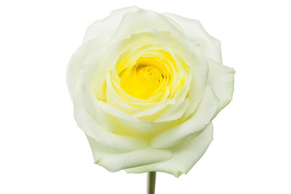 P° 1655 White Sweet Blush Yellow