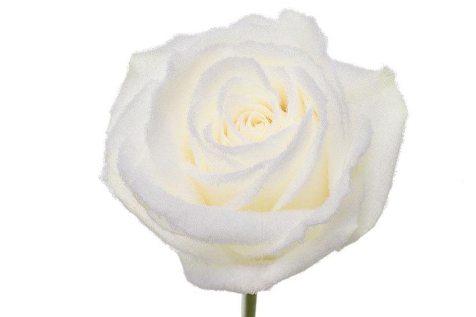 P° 1670 White Velvet