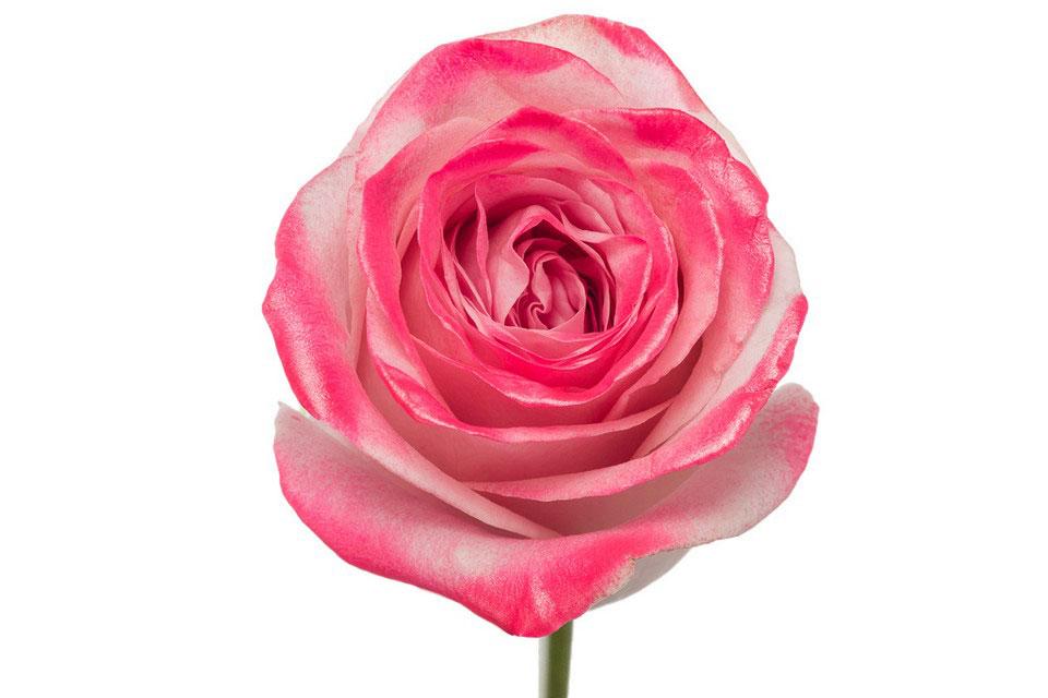 P° 2170 Pink Blush Pink Glamour