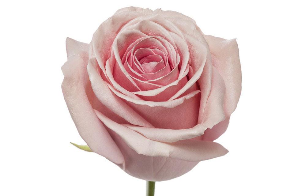 P° 2190 Pink Blush White Glamour