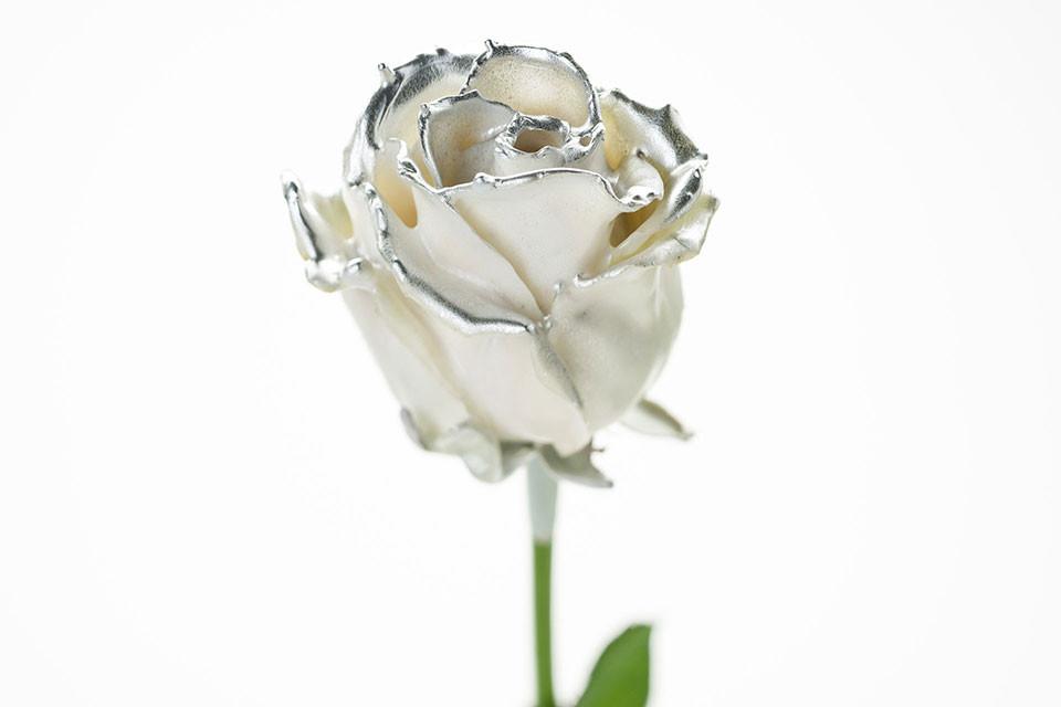 P° 750 White Blush Silver
